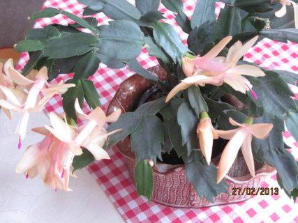FOTKA - Vánoční kaktus kvete po druhé