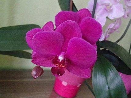 FOTKA - ružová orchidea v predsieni