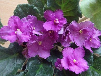 FOTKA - fialka-kvitne už veľmi dlho