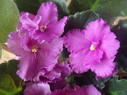 FOTKA - fialka-kvitne už veľmi dlho.