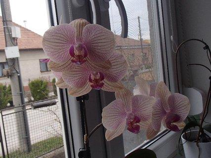 FOTKA - prskaná orchidea na okne
