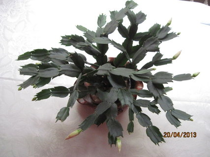 FOTKA - Kaktus pokvete již po třetí
