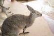 Austrálie - klokánek