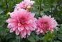 jiřina-květ1