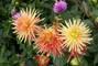 jiřina-květ3