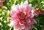 jiřina-květ5