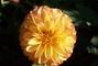 jiřina-květ6