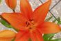 lilie - květ
