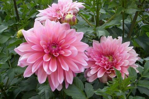 FOTKA - jiřina-květ1