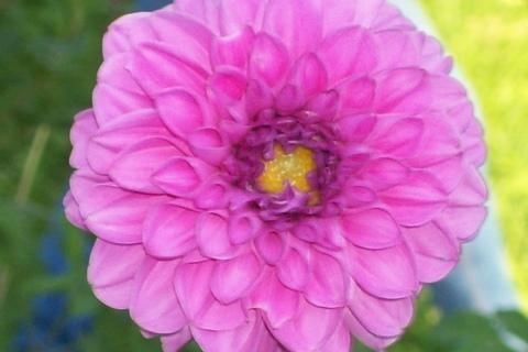 FOTKA - jiřina-květ4