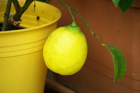 FOTKA - citron.