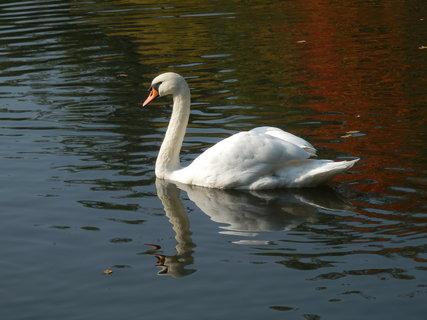 FOTKA - labuť (jeden z rybníků v Zámeckém parku, Teplice)