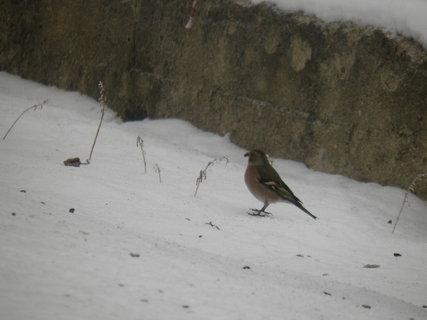FOTKA - Ptáci v zimě 42
