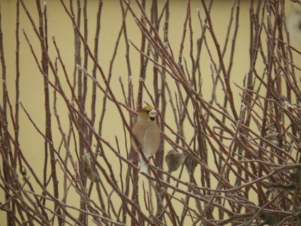FOTKA - Ptáci v zimě 54