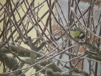 FOTKA - Ptáci v zimě 59