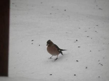 FOTKA - Ptáci v zimě 69