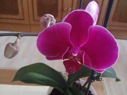 FOTKA - kvietok orchidejky