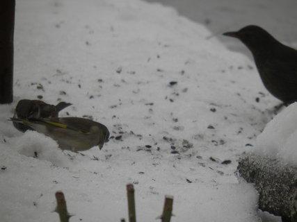 FOTKA - Ptáci v zimě 99