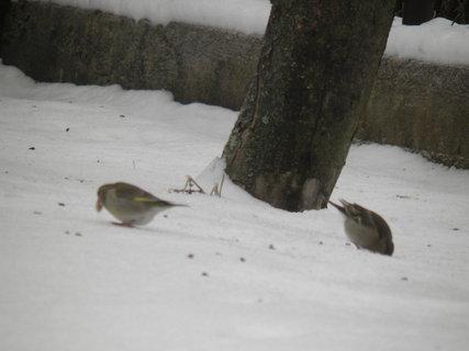 FOTKA - Ptáci v zimě 102