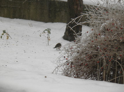 FOTKA - Ptáci v zimě 108