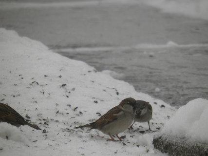 FOTKA - Ptáci v zimě 113