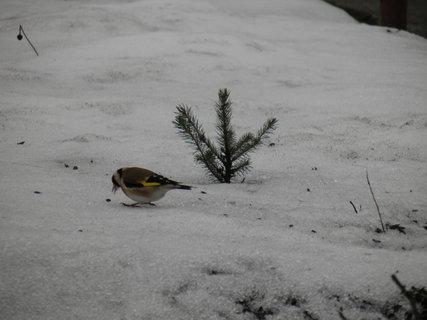 FOTKA - Ptáci v zimě 196