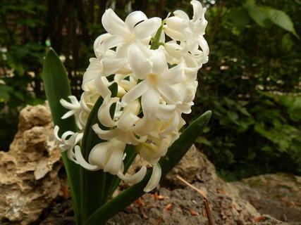 FOTKA - hyacint na chate