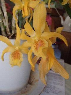 FOTKA - žltá orchidea - má zvláštne kvietky