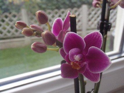 FOTKA - miniorchidea má veľa pukov