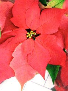 FOTKA - červená vánoční hvězda