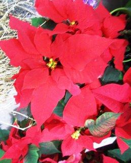 FOTKA - vánoční růže .