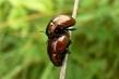 hmyzí sexování