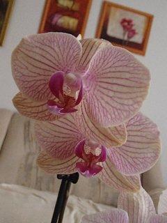 FOTKA - pruhovaná orchidea