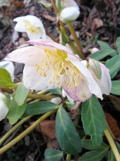 FOTKA - právě kvetou čemeřice ...