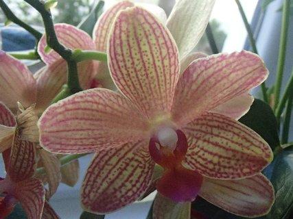 FOTKA - oranžovopruhovaná orchidea-detail