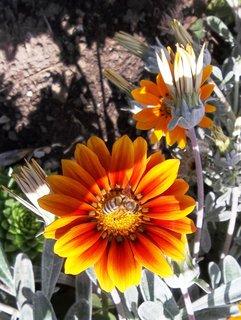 FOTKA - oranžová gazánie
