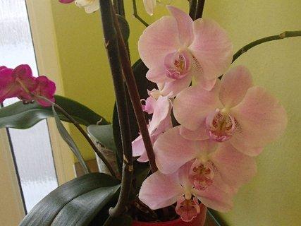 FOTKA - bledá orchidea znovu v kvete