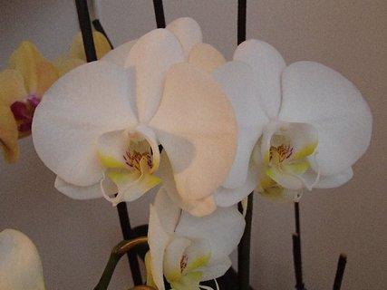 FOTKA - biele kvety orchideje