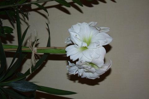 FOTKA - Nový amarylis