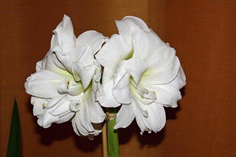 FOTKA - Amarylis bílý