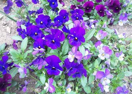 FOTKA - fialové macešky