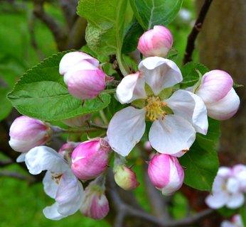 FOTKA - květy jabloně ..