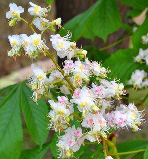 FOTKA - Bílý květ kaštanu ...