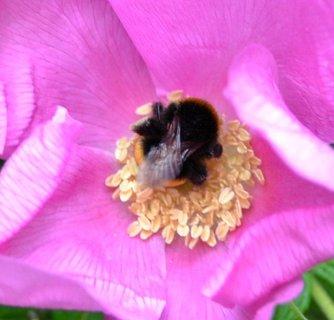 FOTKA - malý ale šikovný čmelda v květu plané růže