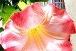 Květ durmanu