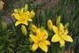 foto ze zahrádky - žluté lilie