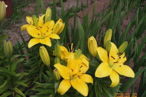 FOTKA - foto ze zahrádky - žluté lilie