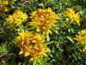 žluté skalničky