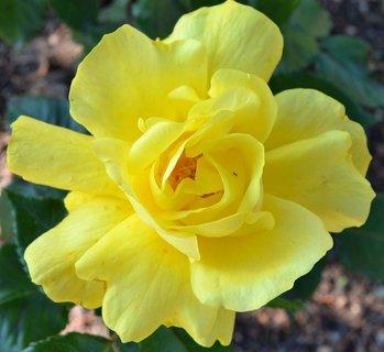 FOTKA - žlutá růžička..
