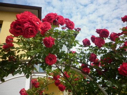 FOTKA - Růže popínavé